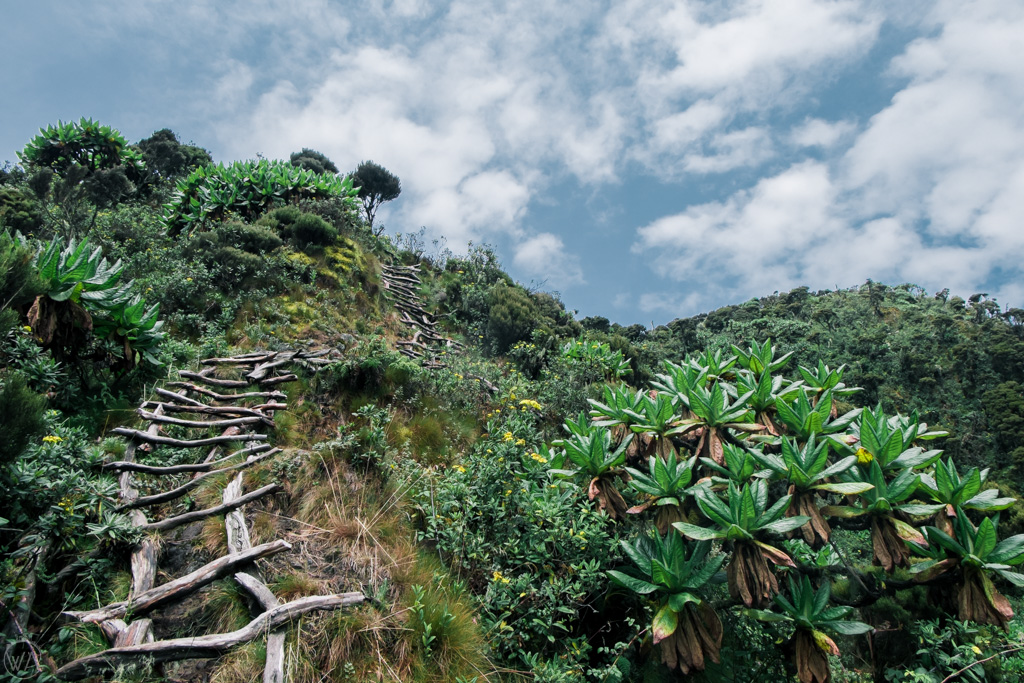 Wooden ladders on the trail of Mount Sabyinyo hike in Uganda