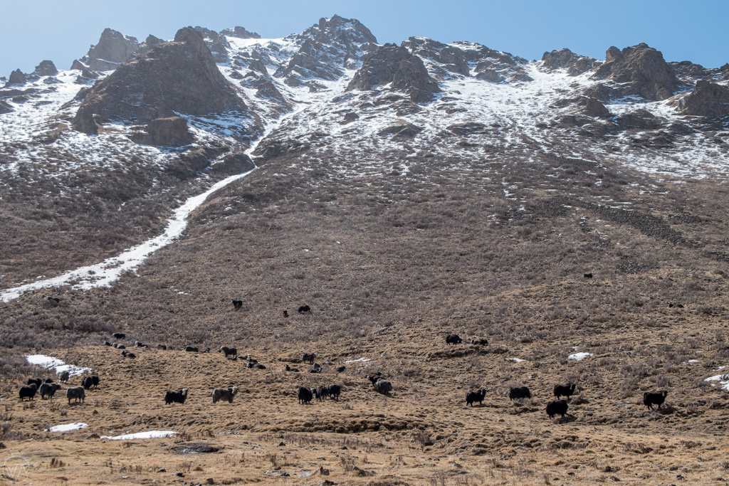Yaks on the pastures in Tian Shan, Kyrgyzstan