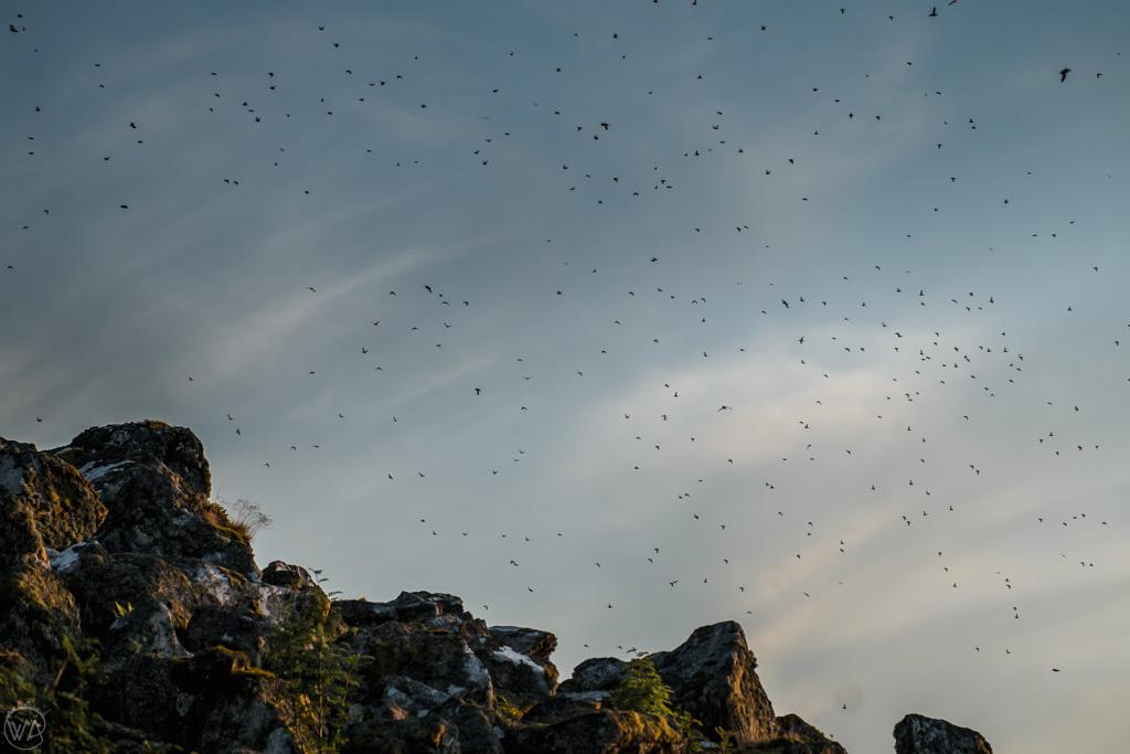 Flying Puffins in Lovund island, Norway
